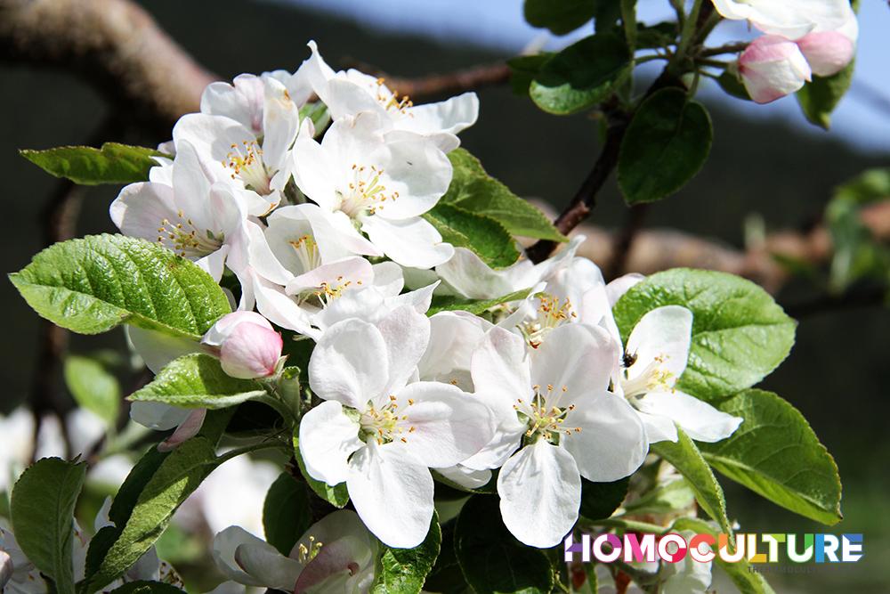 North Okanagan apple blossoms.